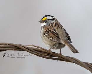 White-throated Sparrow.jpg