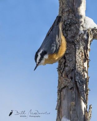 Red-breasted Nuthatch xxx.jpg