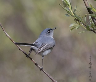 Black-capped Gnatcatcher.jpg