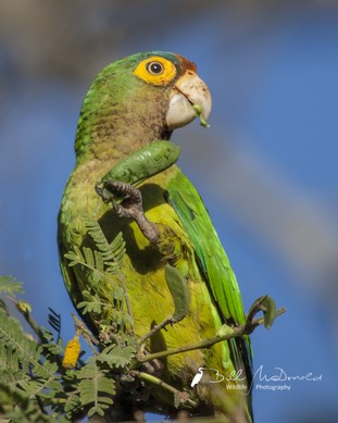 Orange-fronted Parakeet.jpg