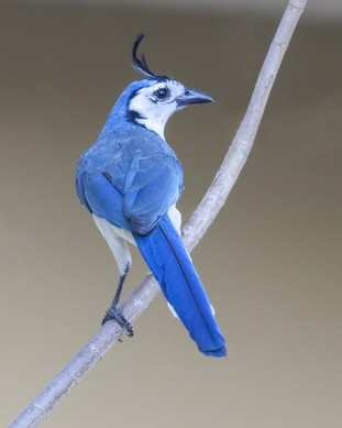 White-throated Magpie-Jay.jpg
