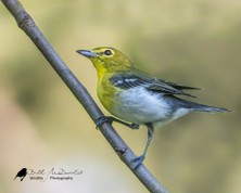 Yellow-throated Vireo.jpg